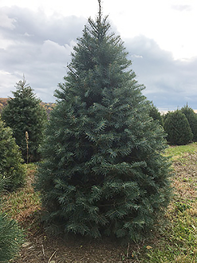 Concolor Fir Christmas Tree