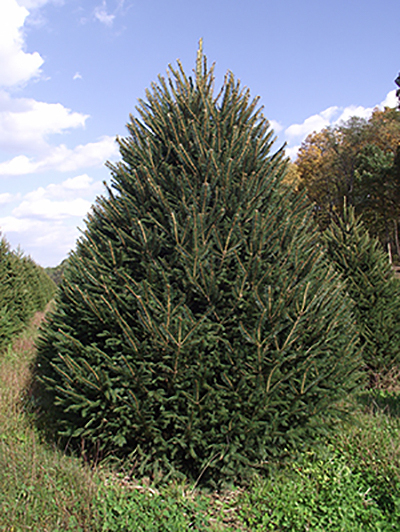 norway-spruce-christmas-tree